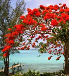 Royal Poinciana by the Sea - Nassau, Bahamas Beautiful World, Beautiful Places, Beautiful Pictures, All Nature, Amazing Nature, Colorful Trees, Plant Species, Plantation, Flowering Trees