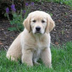 are you taking ANOTHER picture of me?! :D  YES, YOU'RE AN ADORABLE GOLDEN RETRIEVER PUP!!!!