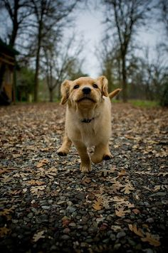 Are golden retriever puppies not the cutest animals ever?
