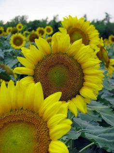 Sunflower #showusyoursummer #pinterestcontest  #solsticesunglasses