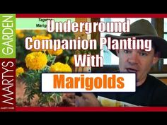 Companion planting with Marigolds above and below the ground. Pest free vegetable gardening starts right here. Watch the video to find out more now!