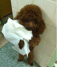 6 Problems Only Poodle Owners Will Understand