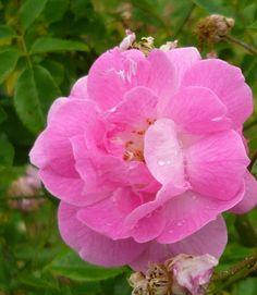 Ornement des Bosquets se pare de fleurs légèrement parfumées, roses ou crème, avec des nuances délicates intermédiaires. La plante semble légère : son feuillage, ses branches fines et souples, se prêtent bien à toutes les utilisations. Ses fleurs mi-doubles, plates, sont réunies en gracieux bouquets, qui se succèdent jusqu'à la fin de l'automne. Feuillage vert moyen, exempt de maladies. Peut être conduit en arbuste (2 m) ou en grimpant (2 à 4 m). Noisette. Jamain,1860.