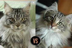 Maine Coon vs Norwegian Forest Cat... http://www.mainecoonguide.com/maine-coon-vs-norwegian-forest-cat/ #mainecoon #cats