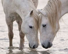 Two Camargue horses stand in the water, head to head in the pink light of dawn in Camargue, France. wild-horse-collection