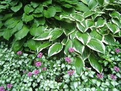 """Silver Beacon lamium makes a great ground cover. Here it is making a """"skirt"""" for some hostas. Although it is a vigorous grower, it is sha..."""
