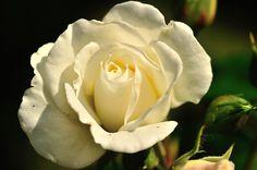 Rose blanche, Les fleurs - Philippe Chailland - MonSitePhotos