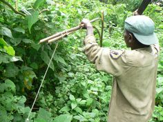 Community scout, Ndunviriye dismantling a snare in the Mikeno mountain gorilla sector in December 2012 | Rangers Deal with Increased Number of Wildlife Snares | gorilla.cd