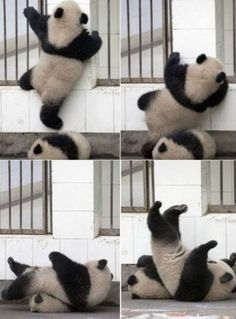 Escape fail... Panda Love, Cute Panda, Animals And Pets, Baby Animals, Baby Pandas, Wild Animals, Mundo Animal, My Animal, Cute Funny Animals