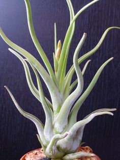 Indoor Benches - A Single Is Ideal For Creating A Cozy Den House Air Plant Tillandsia Perennial Flowering Plants, Drought Tolerant Plants, Air Plants Care, Plant Care, Hanging Air Plants, Indoor Plants, Cool Plants, Cactus Plants, Air Plant Display