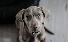 壁紙をダウンロードする 青い顔, 犬, 狩猟犬, weimaraner