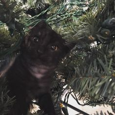 Flint is helping to set up the tree. #catsofinstagram #christmas #christmastree