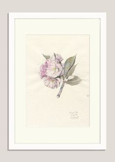 "Cherry blossom 2/2016 - ORIGINAL watercolor and pencil drawing of cherry flowers - 8"" x11"" - Original Botanical drawing by Catalina by CATILUSTRE on Etsy"