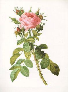 Vintage Botanical Print Antique LELIEURLS ROSE, plant print botanical print, bookplate art print, roses flowers plants plant wall