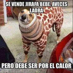 Se vende jirafa. #humor #risa #graciosas #chistosas #divertidas