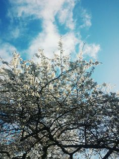 UW Cherry Blossoms | Spring 2014 (Photo by Soyoung Jung)