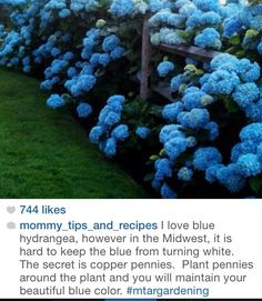 Keep your hydrangeas Blue by planting copper pennies