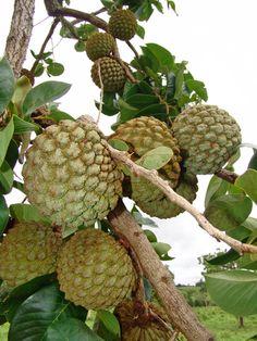Fruta - Araticum-do-cerrado ou Marolo