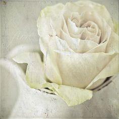White Roses...so shabby