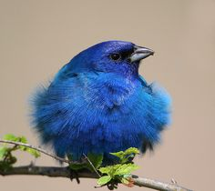 indigo bunting - blue *and* fluffy!
