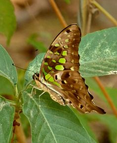 Tailed Jay, Green-spotted Jay or Green Leopard  Graphium agamemnon