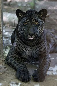 Jahzara - Jaglion Hybrid- Two different parents/ jaguar father and a lion mother!! BEAUTIFUL!