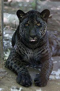 Jahzara - Jaglion Hybrid- Two different parents/ jaguar father and a lion mother!! BEAUTIFUL!