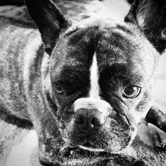 Guinness the frenchie