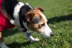 Porque meu cachorro come fezes. Se o seu cachorro comer fezes está exposto a diversos problemas de saúde que podem fomentar o aparecimento de bactérias ou parasitas no intestino, entre muitos outro...