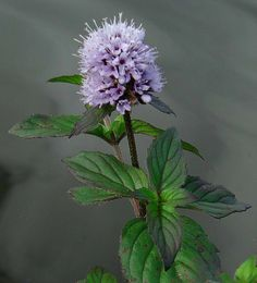 There are about 14 or 15 species or hybrids of mint growing in the UK, most of which have very aromatic leaves. Water Mint prefers damp habitats and grows in water, making it a good choice for wildlife ponds and bog gardens. Its leaves can be used in the same way as other mints, flavouring cooking and drinks. It flowers from July to October and spreads vigorously using its creeping runners.  Info: The Wildlife Trusts Water Garden Plants, Bog Plants, Mint Plants, Herbal Plants, Herbal Teas, Mint Garden, Bog Garden, Herb Garden, Garden Ponds