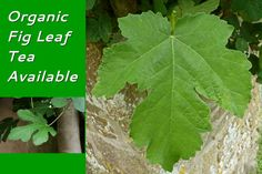 Organic herbs now available: fig leaf tea, olive leaf, luffah leaves for cancer and nigella sativa seeds prepared for immediate use without heating. Black seeds come in powder form. Fig Leaves, Plant Leaves, Fig Leaf Tea, Olive Leaf Tea, Nigella Sativa, Black Seed, Organic Herbs, Seed Oil