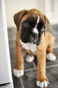Sucha a cute Boxer puppy