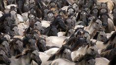 - Cavalos selvagens de Dülmen, na area de Merfelder Bruch, na Alemanha. Anualmente jovens garanhões são retirados do grupo para evitar possíveis lutas com os mais velhos. O evento ocorre desde 1907. Foto: Ina Fassbender/EFE