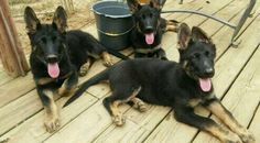 cute gsd pups Gsd Puppies, German Shepherds, Dogs, Cute, Animals, Animales, Animaux, Pet Dogs, Kawaii
