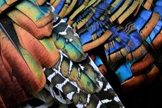 ocellated turkey feathers - The Featured Creature