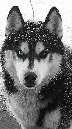 """Receive fantastic suggestions on """"siberian husky"""". They are actually readily available for you on our site. Receive fantastic suggestions on siberian husky. They are actually readily available for you on our site. Pomeranian Husky Puppies, Puppy Husky, Siberian Husky Dog, Pomsky, Alaskan Husky, Alaskan Malamute, Teacup Pomeranian, Shih Tzu Puppy, Beautiful Dogs"""