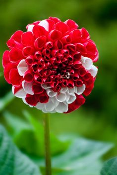 Strawberry and Cream Dahlia
