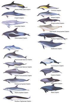 Clases de delfines