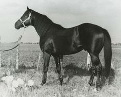 """Depth Charge's confirmation led to his popularity with Quarter Horse men, described as """"the smoothest, most well-muscled and best lookin' son-of-a-gun you ever looked at."""" Depth Charge was inducted into the Hall of Fame in 1991. Learn more about the AQHA Hall of Fame inductees at http://aqha.com/Foundation/Museum/Hall-of-Fame/Hall-of-Fame-Inductees.aspx ."""