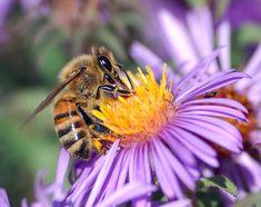 Apis melifera (Abeja de la miel)