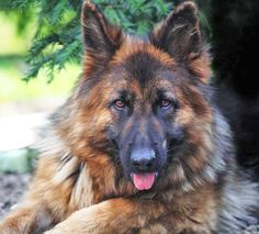 Unique German Shepherd Dog Names For Boy Or Girl Long Haired German Shepherd, German Shepherd Names, German Shepherd Pictures, German Shepherd Puppies, German Shepherds, Big Dogs, Dogs And Puppies, Chow Chow, Malinois