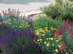 My Hell Strip Garden. Beautiful xeriscape plants next to our drive way.