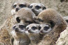 Cute little Meercat family.   Familie Erdmännchen