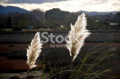 'Toitoi' or 'Toetoe' Grass, Mapua Estuary, NZ Royalty Free Stock Photo Kiwiana, Native Plants, Image Now, New Zealand, Grass, Flora, Royalty Free Stock Photos, Nature, Photography