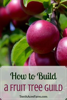 A guild is a grouping of plants that supports a central element—such as a fruit tree—for maximum harvest and use of space. Learn more about this permaculture technique for creating a low-maintenance system that also improves biodiversity.
