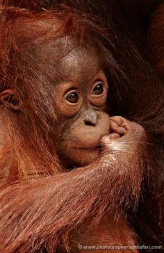 Indonesia - Orangutans in Borneo Photography Tour 14 Days Wild Animals Photography, Photography Tours, Wildlife Photography, Cute Baby Animals, Animals And Pets, Strange Animals, Beautiful Creatures, Animals Beautiful, Baby Orangutan