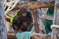 Orangután en Río Safari Elche Orangutan at Rio Safari Elche (Alicante, Spain) Safari, Orangutan, Spain, Parks, Animales, Orangutans