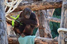 Orangután en Río Safari Elche Orangutan at Rio Safari Elche (Alicante, Spain) Safari, Orangutan, Monkey, Spain, Parks, Animales, Jumpsuit, Sevilla Spain, Monkeys