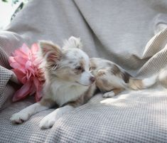 Merle Chihuahua, Chihuahua Puppies For Sale, Long Haired Chihuahua, Cute Chihuahua, Dogs And Puppies, Doggies, Chiwawa, Chihuahuas, Animal Drawings