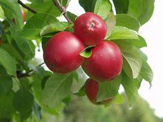 Malus domestica Heta, höstsort. Nytt finskt äpple. Trädet växer kraftigt och brett samt ger rikligt med frukt. Bra grenvinklar. Frukten mognar i mitten av september. Stora nästan helt röda äppel med blankt vaxöverdraget skal. Hållbarhet: 3-5 veckor. Bild: Taimistoviljelijät